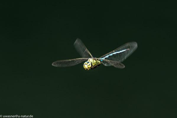 Nachtflug? - Große Königslibelle