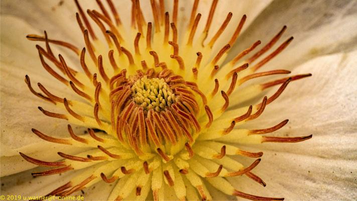 Clematisblüte weiß