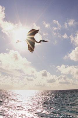 Seereiher im Flug durch Sonne
