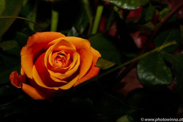 organge rose