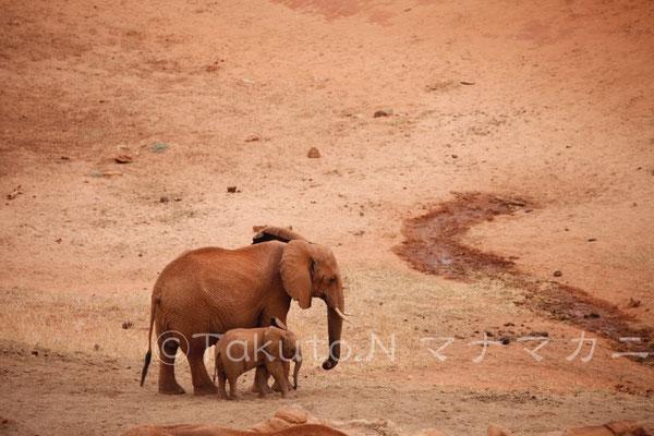 水場に入れてもらえず追い払われたゾウの親子。ゾウの世界もいろいろあるようだ。 (Tsavo East NP)