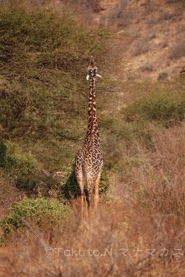 精一杯首を伸ばしていた若いキリン。早く大きくなるといいね。 (Tsavo East NP)