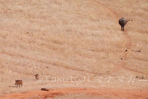 かわりにイボイノシシがやってきた。 (Tsavo East NP)