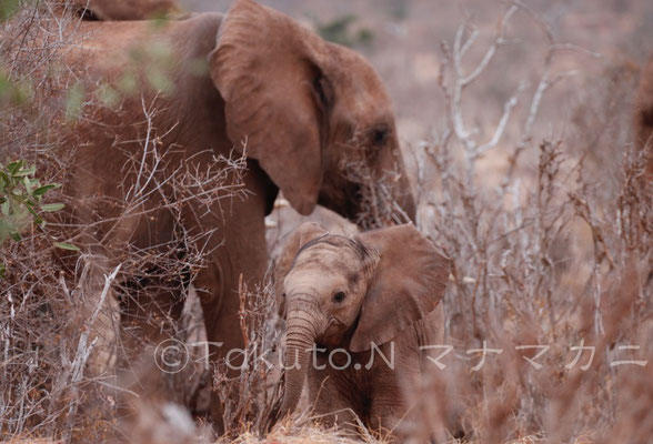 まだ産まれて間もないのかもしれない。体色が薄く、産毛がたくさん生えていた子ゾウ。 (Tsavo East NP)
