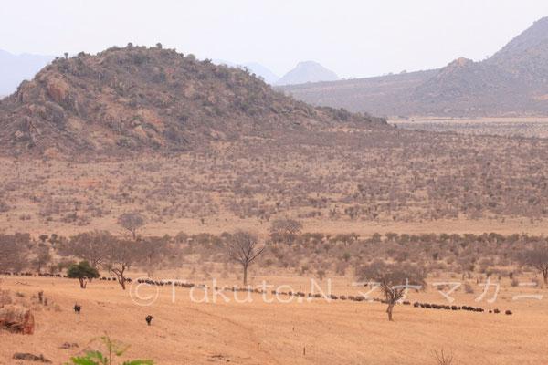 遠くからバッファローたちがやってくる。(Tsavo East NP)