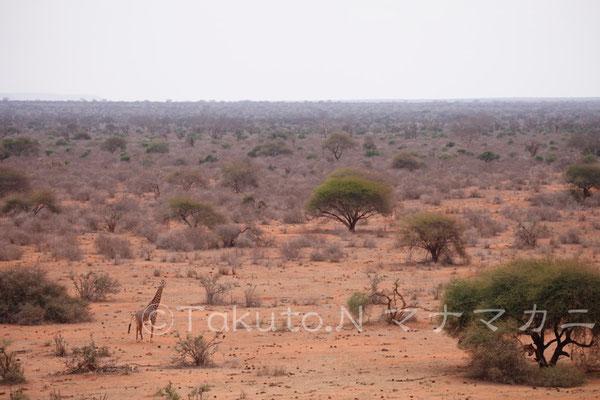 赤土の大地にキリンの姿があった。向こうからこちらは見えているだろうか。 (Tsavo East NP)