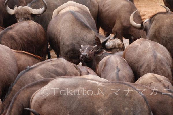 子どもも頑張っている。 (Tsavo West NP)