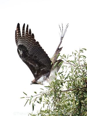 ゴマバラワシ Martial Eagle