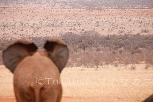 ゾウの見つめる先にはたくさんの動物がいる。探せる? (Tsavo East NP)