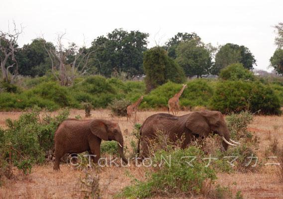 ゾウの向こうにキリン。おっきな世界だ。 (Tsavo East NP)