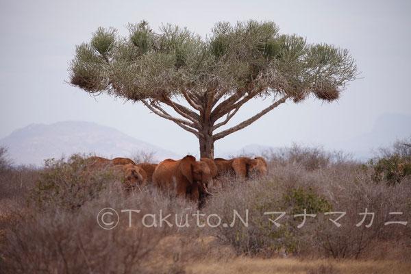 日中は木陰で休息をとる。立ったまま昼寝する。 (Tsavo East NP)