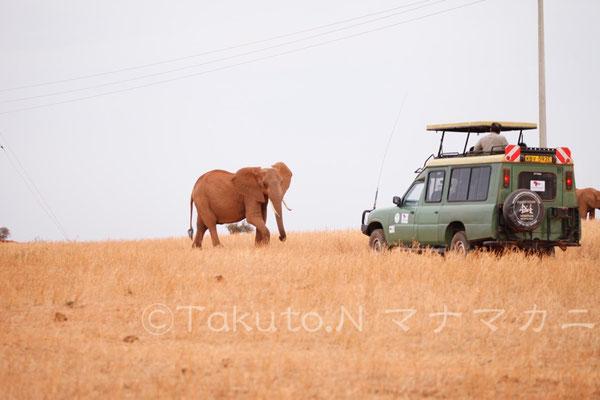 密猟者とは違うと認識しているらしく、観光客に対しては以前ほどは警戒しなくなったと聞いた。 (Tsavo East NP)