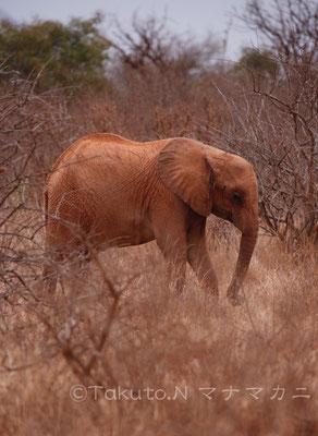 牙のないゾウが増えているそうだ。というより大きな牙をもつゾウたちは象牙のために殺され、その遺伝子も絶えつつあるということだろうか。