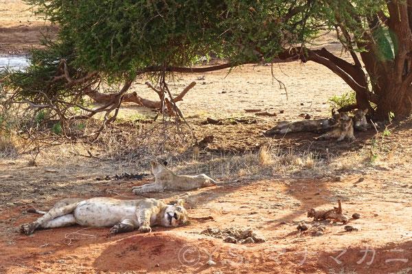 ライオンの社会は女系中心。のんびりしているメスの群れ(プライド)がいた。 (Tsavo East NP)