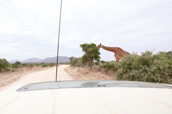 突然車の前に現れた。その大きさにあらためて感嘆する。 (Tsavo East NP)