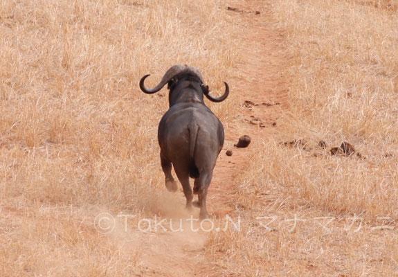 最後に残った一頭が走って去っていった。 (Tsavo East NP)