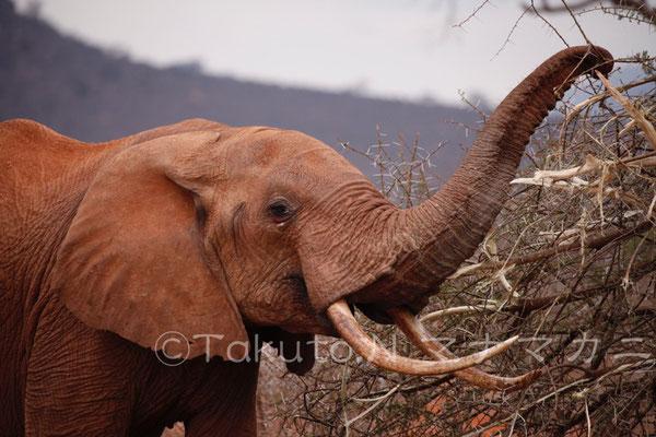 たくさん食べて、未消化の植物の種などを糞で出す。そうしてゾウは種を蒔きながら自然生態系を支えている。 (Tsavo East NP)