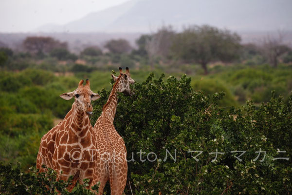 ここまで耳が下がると違う動物のように見える。 (Tsavo East NP)