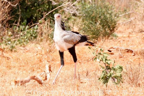 ヘビクイワシ Secretary Bird 体長は1mを超えるが体重は2〜4kg。バレエダンサーのようだ。