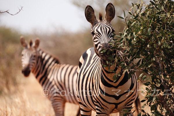 お尻の持ち主。耳の間のやわらちゃんのような毛はタテガミ。 (Tsavo West NP)