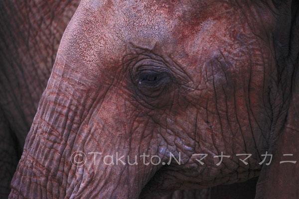 アフリカゾウの瞳。 (Tsavo West NP)