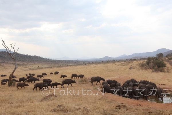 水場にやってくるバッファローの群れ。 (Tsavo West NP)