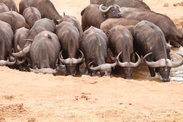 勢いよく水を飲み始めた。 (Tsavo West NP)