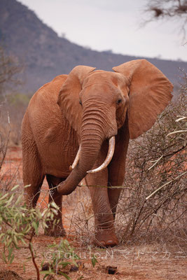器用に鼻で枝を折り、みせびらかす様に食べていた。 (Tsavo East NP)
