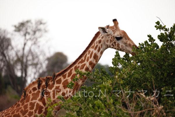キリンは草を食べ、キバシウシツツキはキリンの体の虫を食べる。 (Tsavo East NP)