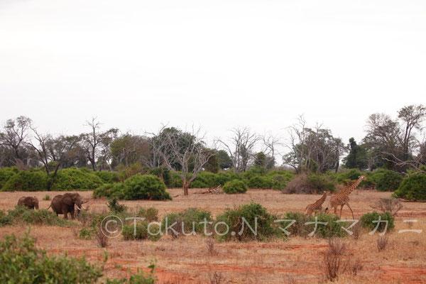 ゾウの親子とキリンの親子。 (Tsavo East NP)