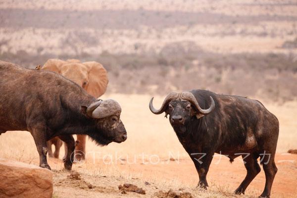 しのびよるゾウたち。 (Tsavo East NP)