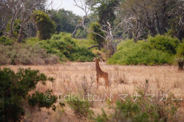 まだかなり小さい子ども。一頭で心細そうに遠くをみていた。 (Tsavo East NP)