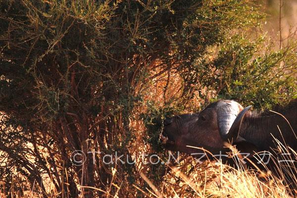 草だけではなく木の葉も食べるようだ。 (Tsavo West NP)