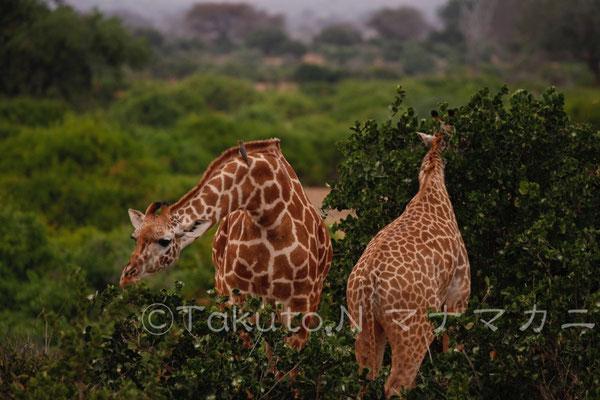 キリンの耳はよく動く。 (Tsavo East NP)