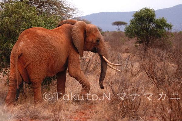 大きな牙のゾウを見ることは難しくなったという。それでも密猟はまだなくならない。悲しい現実だ。 (Tsavo East NP)
