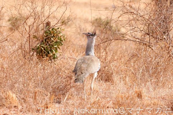 大きいものは体長1.5m,体重18kg。飛翔する鳥の中では最大。