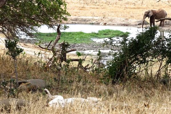 うしろの水飲み場にゾウがやってきたがまるで気づかない様子だ。 (Tsavo West NP)