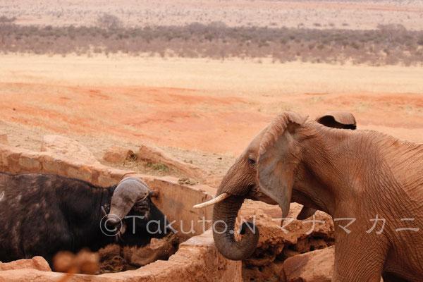 水場をめぐり睨み合うバッファローと若いゾウ。 (Tsavo East NP)