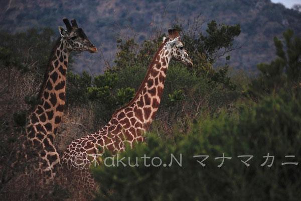 夕暮れ。キリンはある程度すると子ども同士でいることがあるようだ。 (Tsavo East NP)