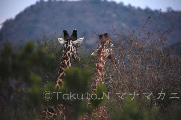 オトナたちの帰りを待っているのだろうか。 (Tsavo East NP)