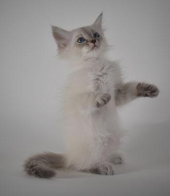 Gatto siberiano ipoallergico