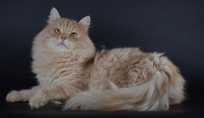 allevamento gatti