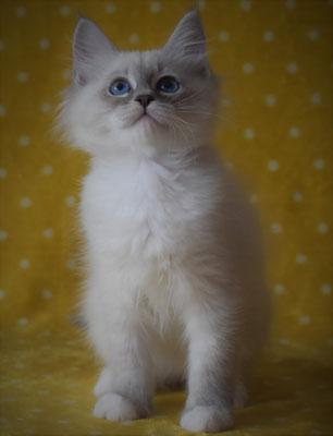 Cucciolo gatto siberiano vendita