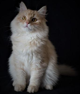 gatto siberiano vendita
