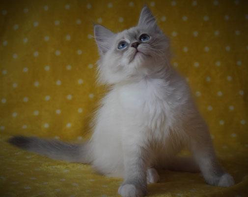 allevamenti gatti siberiani