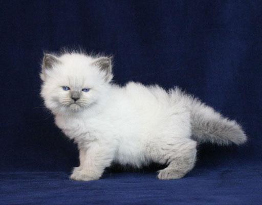 Nella Gallery Trovate Foto Di Gatti Siberiani Da Adottare