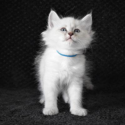 allevamento gatto siberiano gemmedelnord