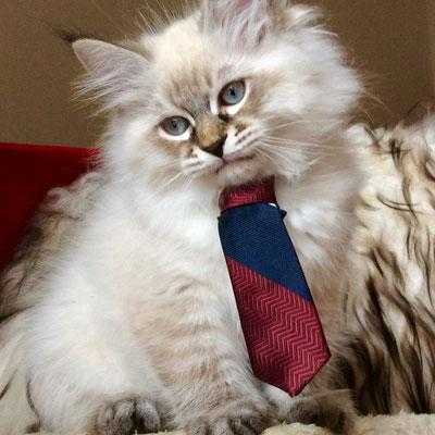 Immagine Gatto Siberiano allevamento gatto siberiano