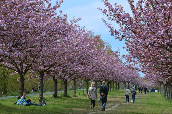 Kirschblüte Teltow