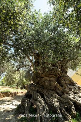 vermutlich ältester Olivenbaum der Welt